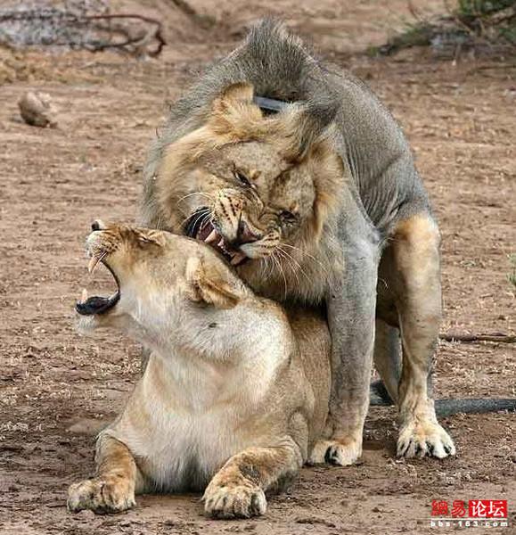 ▼唸声生物写真/ライオンもイク!交尾も百獣の王 - 唸声のブログ 唸声のブログ ▼唸声生物写真/